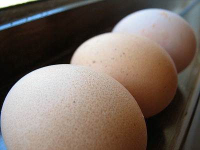 Frightened Pastured Chickens In Danger eggs